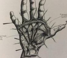 Dibujos y bocetos anatómicos, del Dr. Eduardo Zancolli, publicados en sus libros y trabajos científicos.
