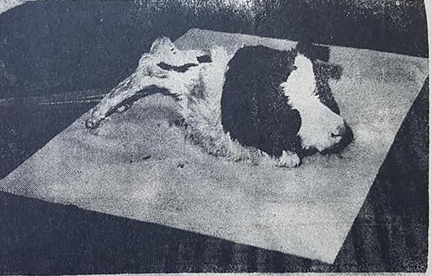 El recuerdo de una insólita noticia: Un ternero, con cara de perro, patas de gallo y alas, nacido en 1974.